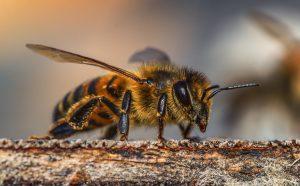 De honingbij is voor de natuur belangrijk. Zonder de bij zijn er geen bomen en schone lucht.