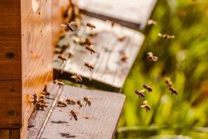 Bijen vinden de bijenkast en gaan voer brengen